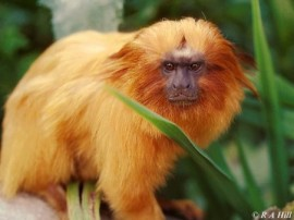 lion-golden-monkey_1012047457